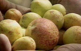 ABC do Globo Rural: Mangaba - A mangaba é uma fruta típica do Nordeste, bastante saborosa e que pode ser comida com casca.