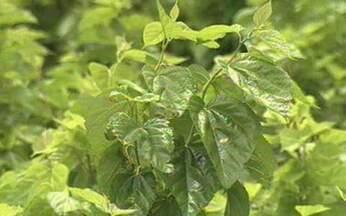 ABC do Globo Rural: Amora - As amoreiras são cultivadas por criadores de bichos-da-seda para dar as folhas como alimentos.