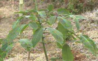 ABC do Globo Rural: Seringueira - Saiba quais são os primeiros cuidados para iniciar uma plantação de seringueiras.