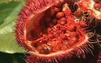 ABC do Globo Rural: urucum - Saiba qual é a dica para fazer a semente do urucum germinar.