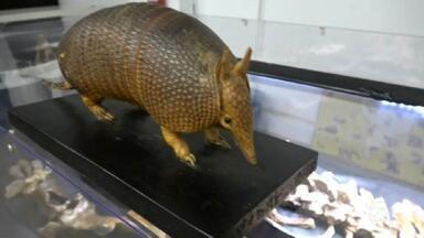 Pesquisadores de São Carlos descobrem nova espécie de tatu pré-histórico - É um animal gigante, de mais de dois metros de comprimento, e que viveu há milhares de anos no Brasil. A ossada está exposta em São Carlos.