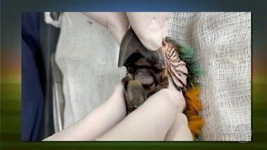 Confira detalhes da operação que implantou um bico em arara canindé - Confira detalhes da operação que implantou um bico em arara canindé