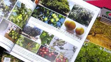 Umbu, fruta típica da região da Caatinga, se destaca no mercado agrícola - O fruto esteve em evidência em um encontro na Universidade do Sudoeste Baiano e também foi tema de revista especializada.