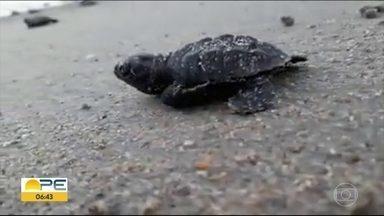 Cento e nove tartarugas nascem em praia de Paulista - Núcleo de Sustentabilidade Ambiental do município acompanhou eclosão dos ovos.
