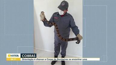 Aumenta o número de captura de cobras em Montes Claros, segundo os Bombeiros - A orientação em caso de aparecimento de cobras é de chamar o Corpo de Bombeiros, no número 193.