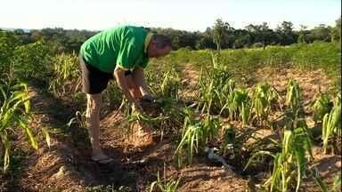 Agricultores que ficaram sem auxílio emergencial sofrem com a seca no RS - Ajuda de R$ 600 foi vetada por Bolsonaro para produtores que não estão no Cadastro Único. Ministério diz que liberou verba para programa de compra de alimentos.