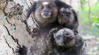 Globo Repórter acompanha a rotina de uma família de micos - Nossas câmeras registram a dinâmica de um grupo de micos de tufo preto, também conhecidos como saguis estrela, em busca de alimento, além do crescimento dos filhotes e o carinho e cuidado de um com o outro..