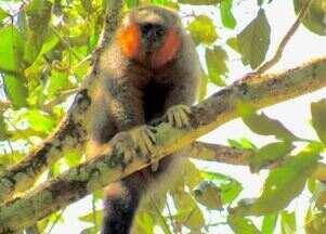 """Reveja a descoberta de uma nova espécie de macaco em Sinop (MT) - Nomeado de """"Plecturocebus grovesi"""", o primata tem a barba em tons avermelhados e vive nas áreas verdes entre as plantações."""