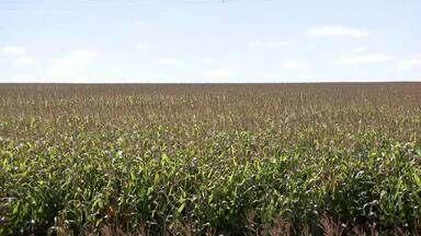 Produtores demonstram otimismo com safra de milho no Triângulo Mineiro - Expectativa da Companhia Nacional de Abastecimento é de produção recorde no país.