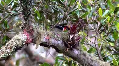 Reveja o flagrante do Terra da Gente do ninho de saíra-apunhalada - Ave rara chegou a ser considerada extinta no planeta! Equipe do programa conheceu pesquisadores que se empenham em proteger e estudar a espécie.