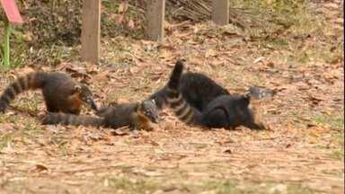Animais silvestres são vistos com maior frequência durante pandemia em Juiz de Fora - Em meio ao distanciamento social por conta do coronavírus, espécies que anteriormente eram pouco vistas em locais públicos, buscam alimento em parques.