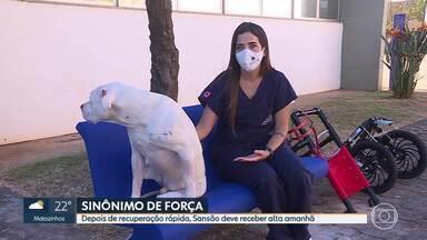 Cachorro Sansão deve receber alta neste fim de semana - Cão teve duas patas decepadas em Confins, na Grande BH.