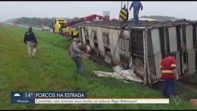 Caminhão com porcos vivos tomba na rodovia Régis Bittencourt, em Registro - Acidente aconteceu na altura da cidade do Vale do Ribeira e deixou congestionamento na rodovia.