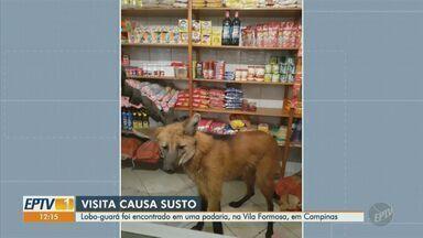 Lobo-guará entra em padaria de Campinas e é resgatado pelo Corpo de Bombeiros - Animal entrou correndo e ficou próximo a prateleiras. Bombeiros capturaram e soltaram uma área de mata.