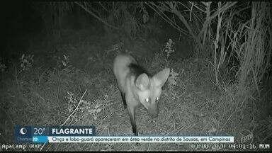 Lobo-guará e onça parda são flagrados por armadilhas fotográficas, em Campinas - Imagens foram registradas por Gustavo Silveira de Carvalho, que ajuda uma equipe de pesquisadores da Universidade de Campinas (Unicamp) a monitorar os animais.