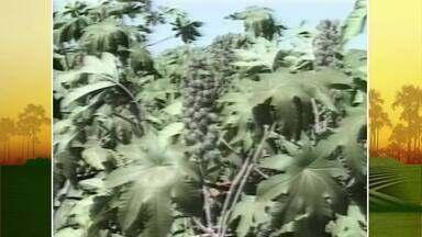 Memória: Inter TV Rural relembra reportagem sobre o petróleo verde - A reportagem foi ao ar no ano 2000 e fala sobre o petróleo verde, que foi a aposta de muitos produtores do Norte de Minas 20 anos atrás.