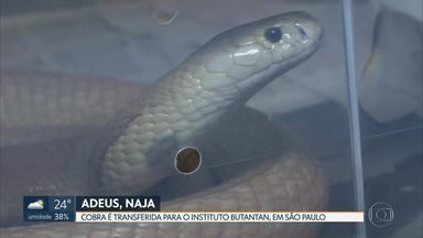 Naja que picou estudante de veterinária não está mais em Brasília - Animal foi transferido para o Instituto Butantan em São Paulo.
