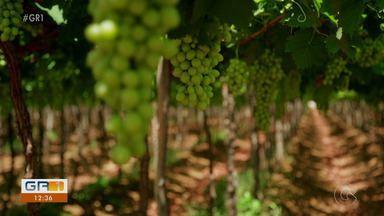 Vendas nas vinícolas da região voltam a crescer após queda no início da pandemia - O Vale do São Francisco é o segundo maior produtor de vinhos e espumantes do Brasil.