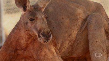 'Domingão Aventura' mostra criadores de animais selvagens - Conheça os riscos de se criar animais selvagens