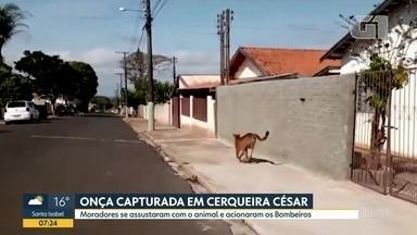 Onça é capturada em Cerqueira César - Animal foi avistado nas ruas da pequena cidade do interior.