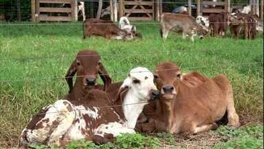 Vacas que pastejam na sombra têm produtividade maior, conclui pesquisa - Estudo da Embrapa Cerrados mostra, por exemplo, que, protegidas do sol, vacas produzem 22% a mais de leite por dia.