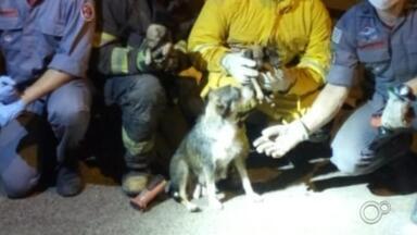 Casa desaba e bombeiros retiram filhotes de cachorro dos escombros em Garça - O Corpo de Bombeiros resgatou na noite deste domingo (27) quatro cachorros que ficaram sob os escombros de uma casa que desabou no bairro São José, em Garça (SP).