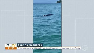 Baleias jubarte são vistas por pescadores no mar de Paraty - Eles estavam em um barco e registraram o momento em que os animais se aproximaram da embarcação.