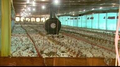 Onda de calor causa estragos e prejuízos nas produções agrícolas - No interior de São Paulo, mil galinhas já morreram em uma granja, e os funcionários estão jogando água nos barracões para amenizar o calor.