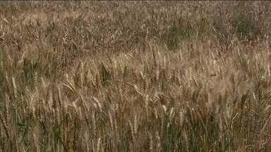 Plantio experimental de trigo em Alagoas completa dois anos - Resultados apresentados são satisfatórios.