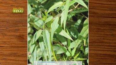 Parte 2: Plantas medicinais usadas por povos indígenas é tema de pesquisa no Pará - Parte 2: Plantas medicinais usadas por povos indígenas é tema de pesquisa no PA.