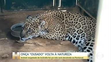 Onça resgatada de incêndio será devolvida ao Pantanal - A onça Ousado se recuperou de queimaduras causadas pelos incêndios.