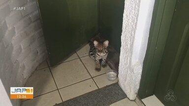 Filhote de gato maracajá é encontrado domesticado em casa no município de Santana - Filhote de gato maracajá é encontrado domesticado em casa no município de Santana