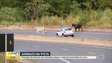 Presença de animais nas estradas coloca a vida de motoristas em risco - Só neste ano, a Via 040, concessionária que administra a BR-040 entre Brasília e Juiz de Fora, já fez mais de 1.800 ações de recolhimento de animais.