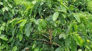 Linha de crédito para recuperar cafezais é ampliada - Altas temperaturas prejudicam produção de café.