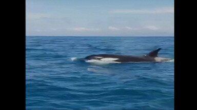 Grupo de orcas é avistado no litoral catarinense - Grupo de orcas é avistado no litoral catarinense