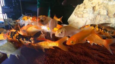 Vende de peixes de aquário dispara durante a pandemia - Aquário exige cuidado e dedicação