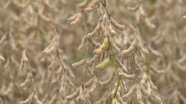 Chuvas atrasam colheita de soja no MS - Chuvas atrasam colheita de soja no MS