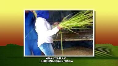 Telespectadora mostra colheita do arroz na zona rural de Catuji - Duas famílias trabalham na colheita do arroz em propriedade que fica no Córrego São Pedro.