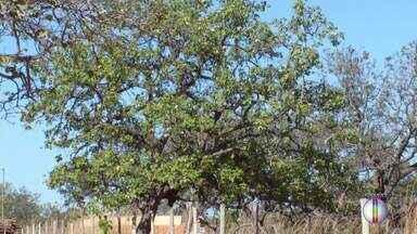 Governo de MG libera recurso para estudos sobre morte de pequizeiros no Norte de MG - Em Japonvar, metade dos pés morreram nos últimos 10 anos.