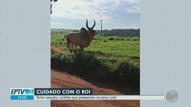 Boi dá susto em ciclistas durante pedalada em Jardinópolis, SP - Animal ficou nervoso e atacou grupo na estrada.