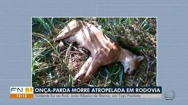 Onça-parda morre atropelada na Rodovia Comandante João Ribeiro de Barros - Acidente foi registrado em Tupi Paulista.