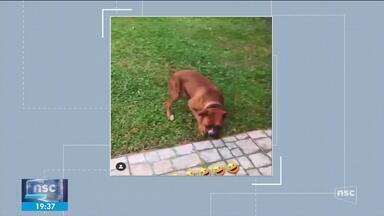 Polícia Civil de Chapecó indicia mulher que ri em vídeo do próprio cão levando choque - Polícia Civil de Chapecó indicia mulher que ri em vídeo do próprio cão levando choque