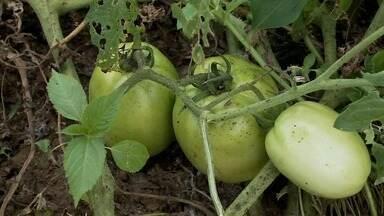 Produtor rural de Viçosa aposta no plantio de tomate - Uma das variedades é a de espécie gigante.