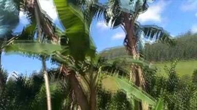 Produtora de Marechal Floriano tira dúvida sobre plantação de banana da terra - Veja a seguir.