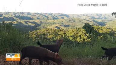 Biólogos fazem registro inédito do cachorro-vinagre no DF - A espécie ameaçada de extinção não era vista no DF há pelo menos 50 anos.
