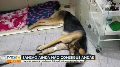 Cachorro Sansão, agredido há pauladas há uma semana, segue em tratamento - Crime de maus tratos ocorreu em Caratinga. Animal ainda não voltou a andar.