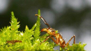Doze novas espécies de formigas são descobertas no sul da Bahia - Mais de 4 mil espécies do inseto estão catalogadas no município de Ilhéus.