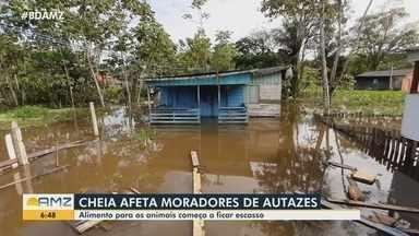 Autazes: Um dos maiores produtores de leite do Amazonas é afetado pela cheia - Alimento para os animais começa a ficar escasso.