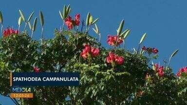 Cascavel proíbe o plantio de espécie de árvore africana para preservar abelhas - Flores da Spathodea Campanulata possuem tóxicos no néctar. Dúvidas e orientações sobre poda, corte e plantio de árvores: (45) 3223-6635.