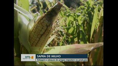 Estiagem prejudica produção de milho - Além da seca o ataque de pragas impacta na produção